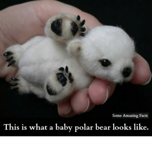some amazing facts this is what a baby polar bear 21006559 ✅ 25 best memes about polar bears polar bears memes