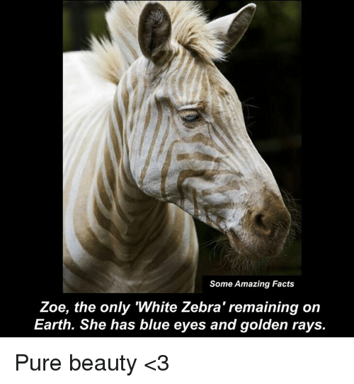 Some Amazing Facts Zoe the Only White Zebra' Remaining on Earth She