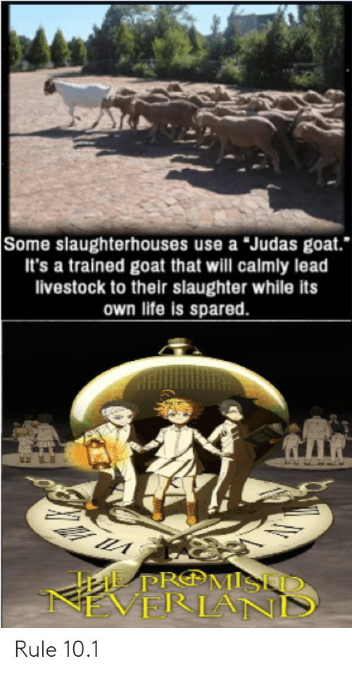 "Anime, Life, and Goat: Some slaughterhouses use a ""Judas goat.  It's a trained goat that will calmly lead  livestock to their slaughter while its  own life is spared  A PROMISED  VERIAND Rule 10.1"