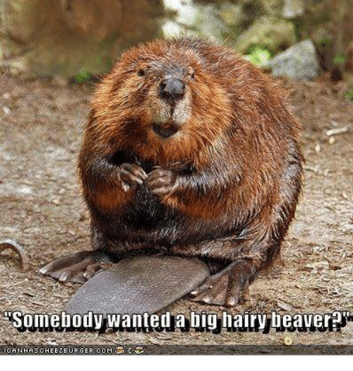 Hairy Beaver Being Shaved
