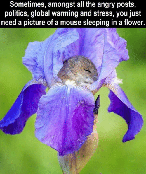 Global Warming, Politics, and Flower: Sometimes, amongst all the angry posts,  politics, global warming and stress, you just  need a picture of a mouse sleeping in a flower.