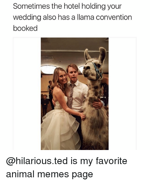 Memes, Ted, and Animal: Sometimes the hotel holding your  wedding also has a llama convention  booked @hilarious.ted is my favorite animal memes page