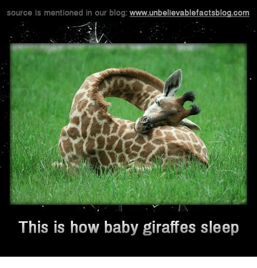 source is mentioned in our blog www unbelievablefactsblog com this is how 7998056 ✅ 25 best memes about baby giraffe baby giraffe memes,Giraffe Meme