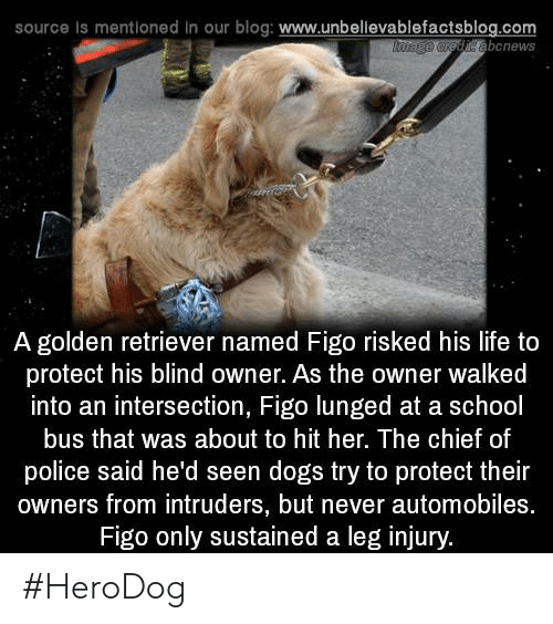Dogs, Life, and Memes: source is mentioned in our blog: www.unbellevablefactsblog.com  abcnews  A golden retriever named Figo risked his life to  protect his blind owner. As the owner walked  into an intersection, Figo lunged at a school  bus that was about to hit her. The chief of  police said he'd seen dogs try to protect their  owners from intruders, but never automobiles.  Figo only sustained a leg injury. #HeroDog