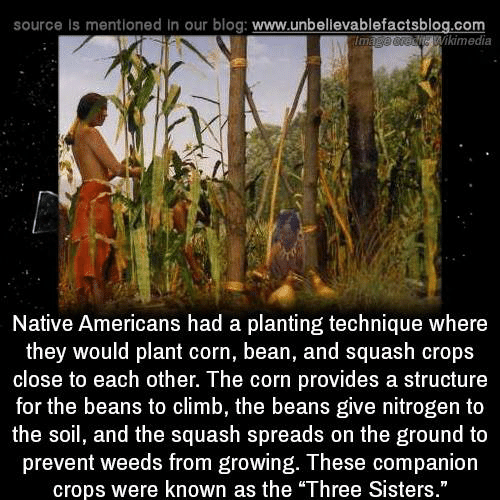 "Memes, Blog, and 🤖: source Is mentioned in our blog: www.unbellevablefactsblog.com  Wikimedia  Native Americans had a planting technique where  they would plant corn, bean, and squash crops  close to each other. The corn provides a structure  for the beans to climb, the beans give nitrogen to  the soil, and the squash spreads on the ground to  prevent weeds from growing. These companion  crops were known as the ""Three Sisters."""