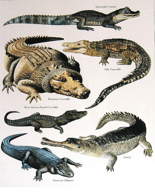 What is the difference between an alligator and a crocodile and caiman