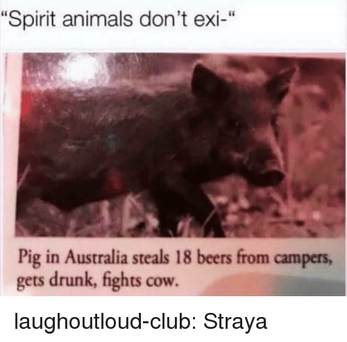 """Animals, Club, and Drunk: """"Spirit animals don't exi-""""  Pig in Australia steals 18 beers from campers  gets drunk, fights cow laughoutloud-club:  Straya"""