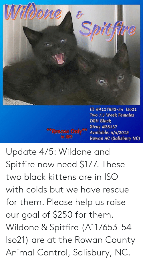 Spitfire ID#A117653-54 Ls021 Two 75 Week Females DSH Black Stray