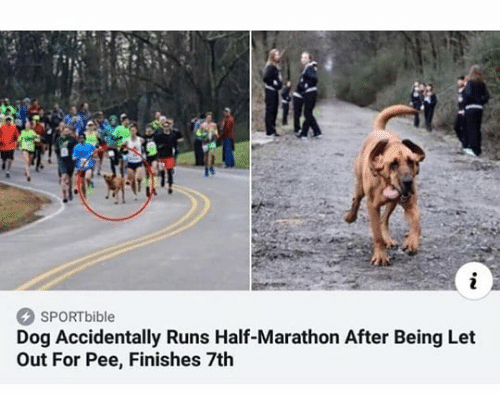 Dank Memes, Dog, and Marathon: SPORTbible  Dog Accidentally Runs Half-Marathon After Being Let  Out For Pee, Finishes 7th