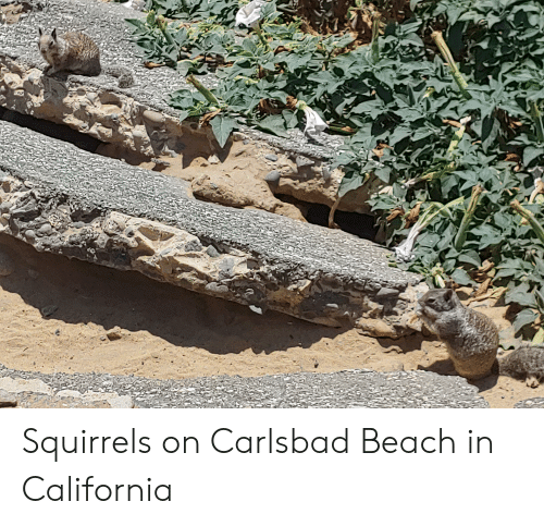 Beach, California, and  Squirrels: Squirrels on Carlsbad Beach in California