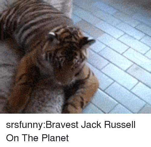 Tumblr, Blog, and Http: srsfunny:Bravest Jack Russell On The Planet