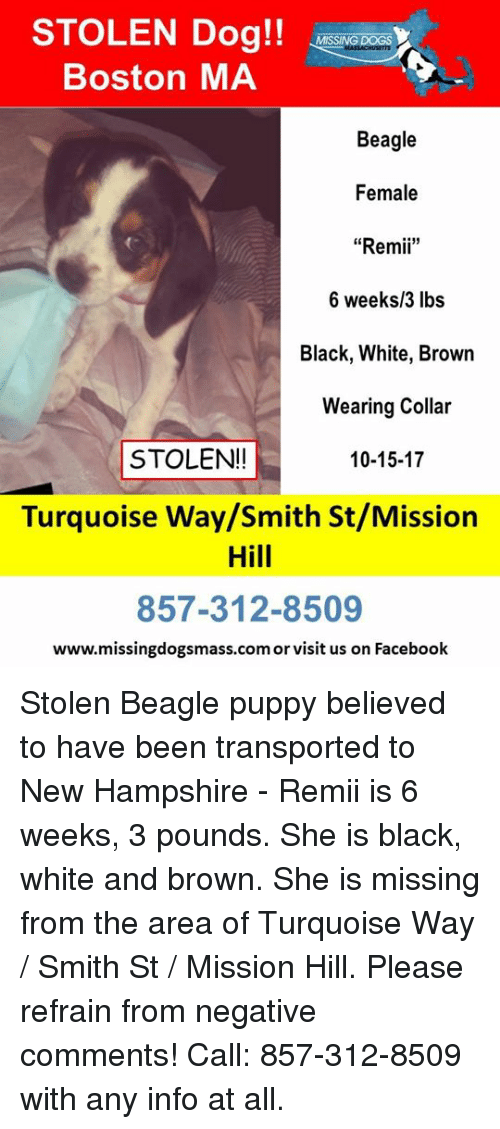 STOLEN Dog!! Boston MA MISSING Beagle Female Remi 6 Weeks3