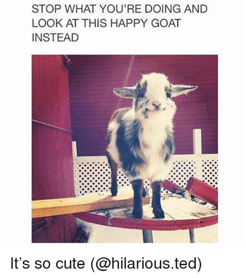 Cute, Funny, and Ted: STOP WHAT YOU'RE DOING AND  LOOK AT THIS HAPPY GOAT  INSTEAD It's so cute (@hilarious.ted)