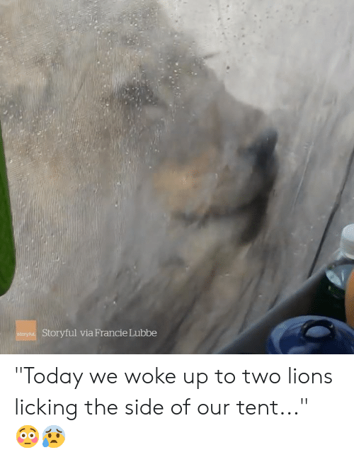 "Lions, Today, and Via: Storyful via Francie Lubbe  story ""Today we woke up to two lions licking the side of our tent..."" 😳😰"
