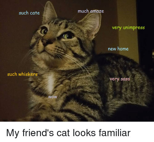 Cats, Doge, and Friends: such cate  such whiskers  WOW  much amaze  very unimpress  new home  Very Sass My friend's cat looks familiar