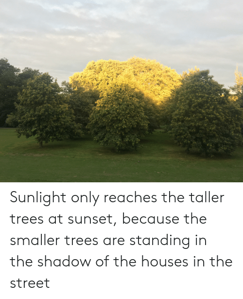 Sunset, Trees, and The Shadow: Sunlight only reaches the taller trees at sunset, because the smaller trees are standing in the shadow of the houses in the street