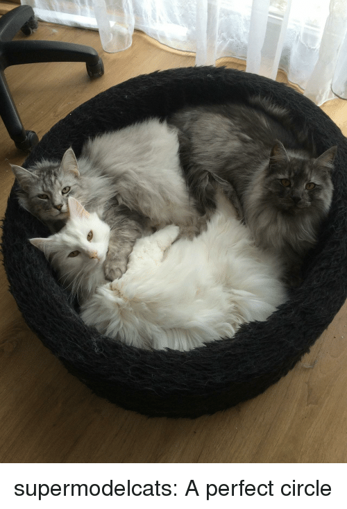 Tumblr, Blog, and Com: supermodelcats:  A perfect circle