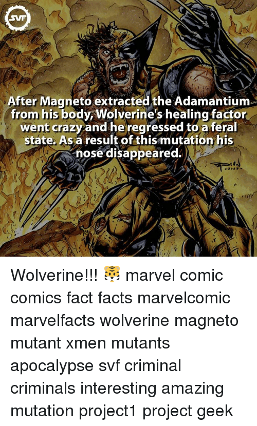 Marvel Comics, Memes, and Wolverine: SVF  After Magneto extracted the Adamantium  from his body Wolverine's healing factor  went crazy and he regressed toa feral  state. As a result of this mutation his  nose disappeared. Wolverine!!! 🐯 marvel comic comics fact facts marvelcomic marvelfacts wolverine magneto mutant xmen mutants apocalypse svf criminal criminals interesting amazing mutation project1 project geek