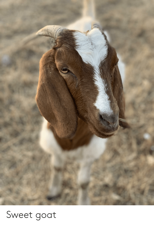 Goat and Sweet: Sweet goat