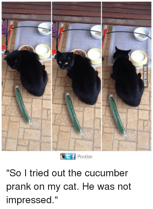 """Memes, Prank, and 🤖: t f  Postize """"So I tried out the cucumber prank on my cat. He was not impressed."""""""