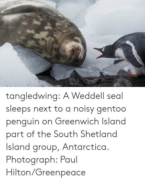 Target, Tumblr, and Blog: tangledwing: A Weddell seal sleeps next to a noisy gentoo penguin on Greenwich Island part of the South Shetland Island group, Antarctica. Photograph: Paul Hilton/Greenpeace