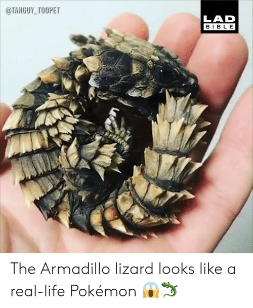 Dank, Life, and Pokemon: @TANGUY_TOOPET  LAD  BIBLE The Armadillo lizard looks like a real-life Pokémon 😱🦎