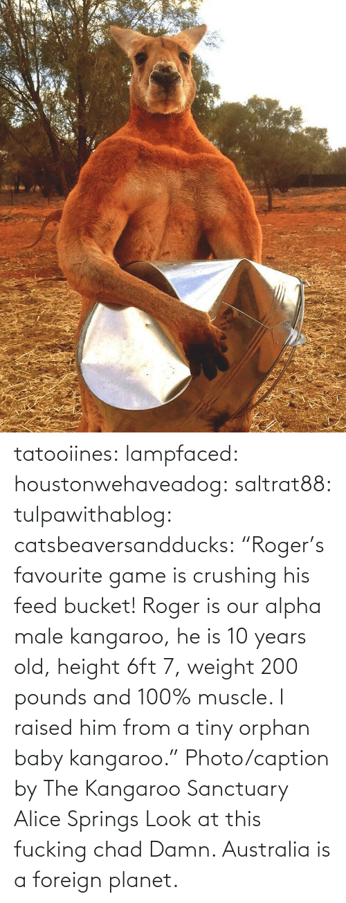"""Facebook, Gif, and Roger: tatooiines: lampfaced:  houstonwehaveadog:  saltrat88:  tulpawithablog:  catsbeaversandducks:  """"Roger's favourite game is crushing his feed bucket! Roger is our alpha male kangaroo, he is 10 years old, height 6ft 7, weight 200 pounds and 100% muscle. I raised him from a tiny orphan baby kangaroo."""" Photo/caption byThe Kangaroo Sanctuary Alice Springs   Look at this fucking chad    Damn.   Australia is a foreign planet."""