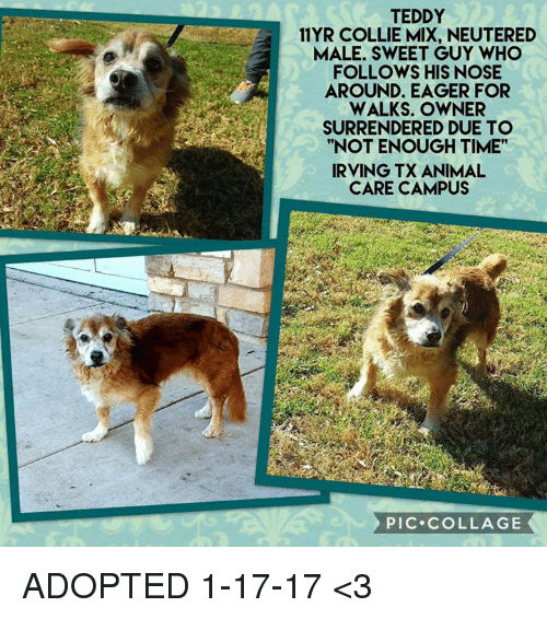 teddy 11 yr collie mix neutered male sweet guy who follows his nose