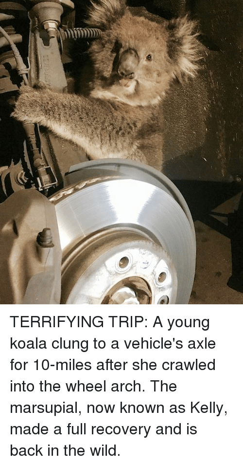 Memes, Wild, and Back: TERRIFYING TRIP: A young koala clung to a vehicle's axle for 10-miles after she crawled into the wheel arch. The marsupial, now known as Kelly, made a full recovery and is back in the wild.