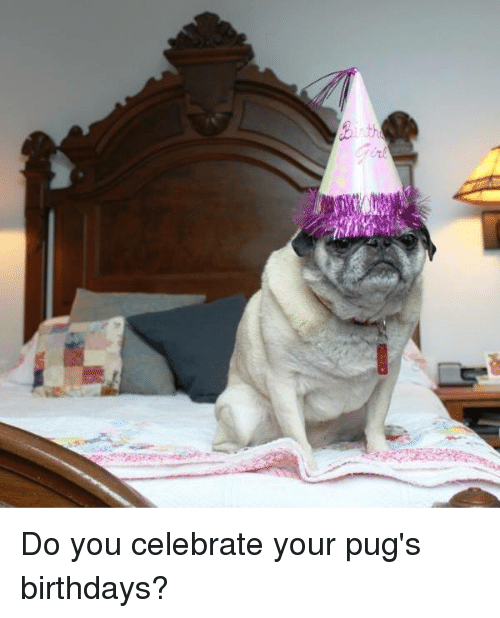th do you celebrate your pugs birthdays 5576746 ✅ 25 best memes about pug birthday pug birthday memes