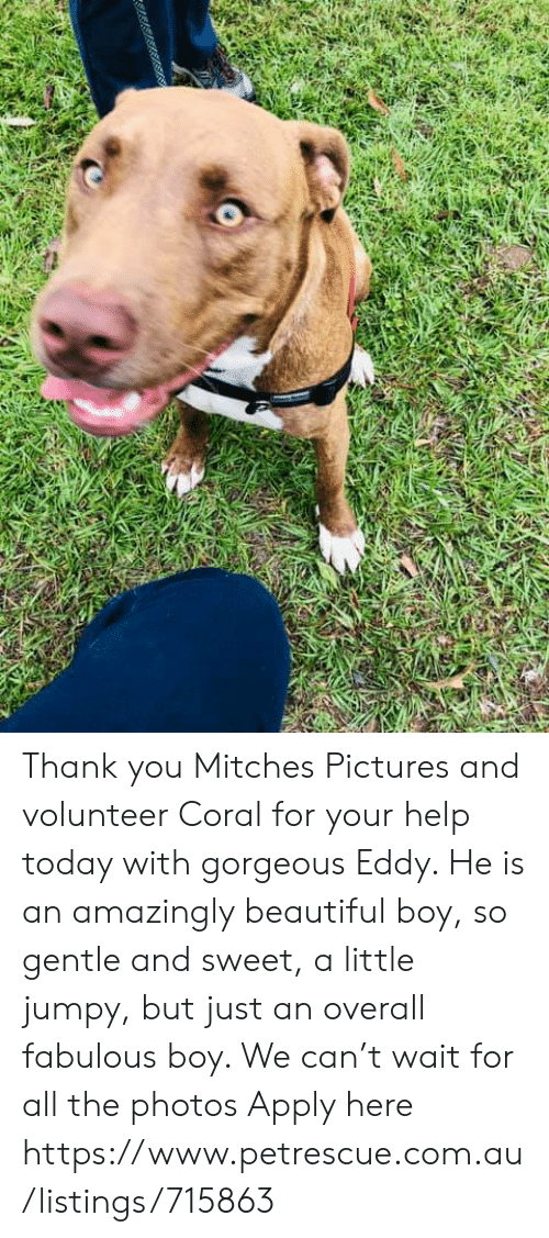 Beautiful, Memes, and Thank You: Thank you Mitches Pictures and volunteer Coral for your help today with gorgeous Eddy. He is an amazingly beautiful boy, so gentle and sweet, a little jumpy, but just an overall fabulous boy. We can't wait for all the photos  Apply here  https://www.petrescue.com.au/listings/715863