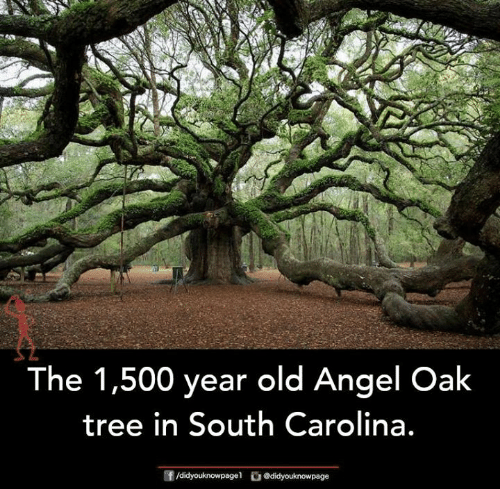 Memes, Angel, and Tree: The 1,500 year old Angel Oak  tree in South Carolina.