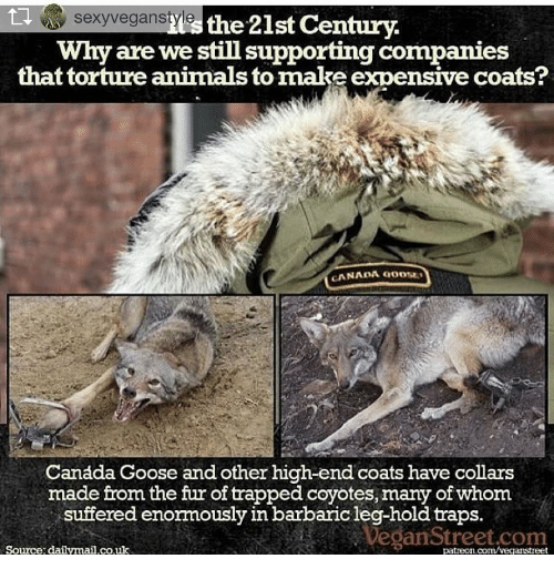 canada goose coyote fur trapping