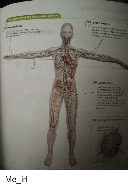 The Anatomy Of The Lymphatic System Lymph Vessels Lymph Vessels Are