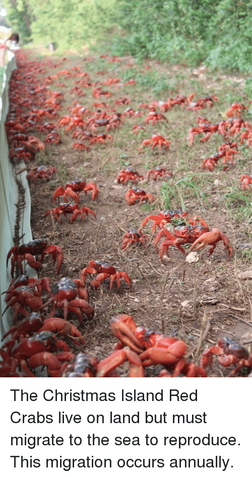 The Christmas Island Red Crabs Live on Land but Must Migrate
