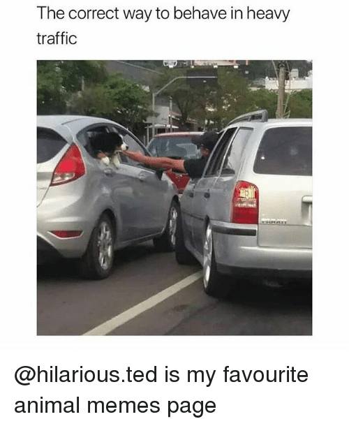 Memes, Ted, and Traffic: The correct way to behave in heavy  traffic @hilarious.ted is my favourite animal memes page