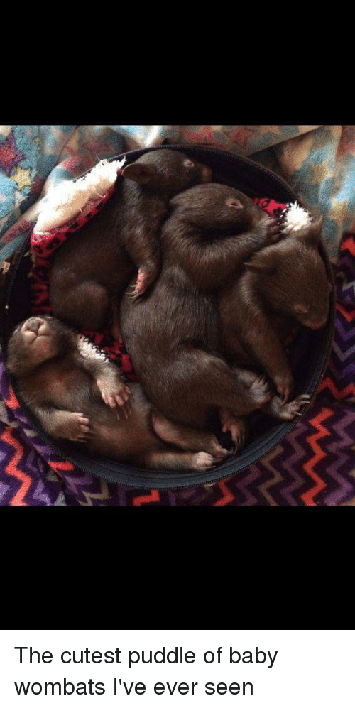 Baby, Wombat, and Wombats: The cutest puddle of baby wombats I've ever seen