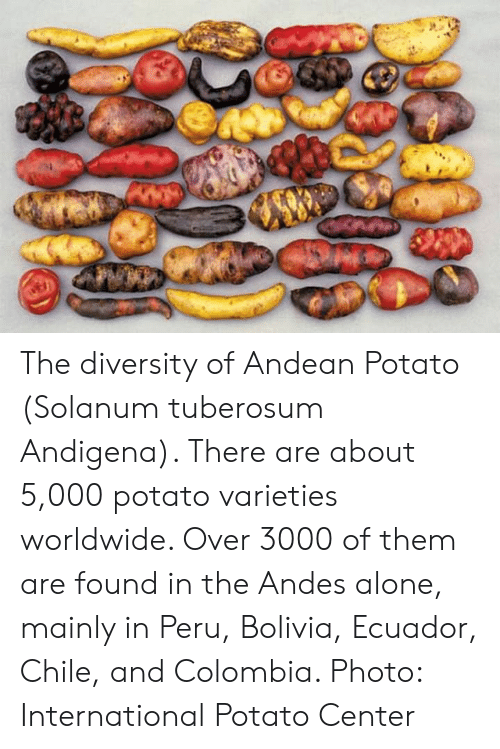 Being Alone, Colombia, and Ecuador: The diversity of Andean Potato (Solanum tuberosum Andigena). There are about 5,000 potato varieties worldwide. Over 3000 of them are found in the Andes alone, mainly in Peru, Bolivia, Ecuador, Chile, and Colombia. Photo: International Potato Center 
