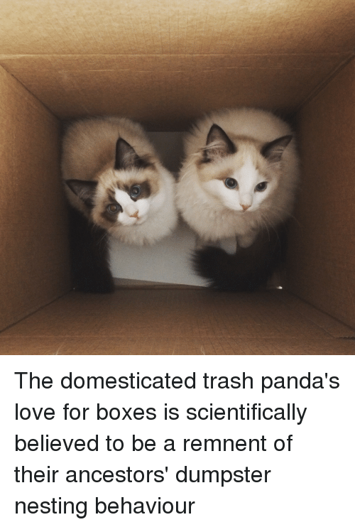 the domesticated trash panda s love for boxes is scientifically