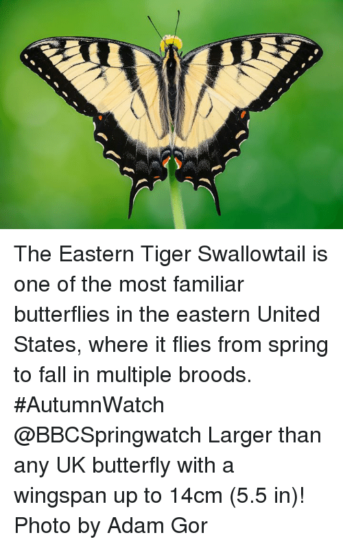 ddf4ba474 Fall, Memes, and Butterfly: The Eastern Tiger Swallowtail is one of the most