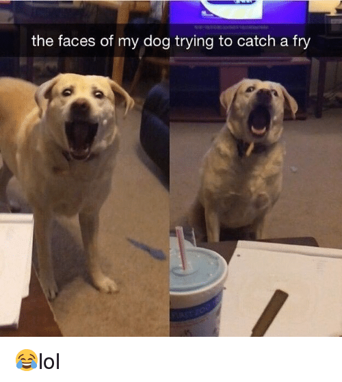 Memes, 🤖, and Dog: the faces of my dog trying to catch a fry 😂lol