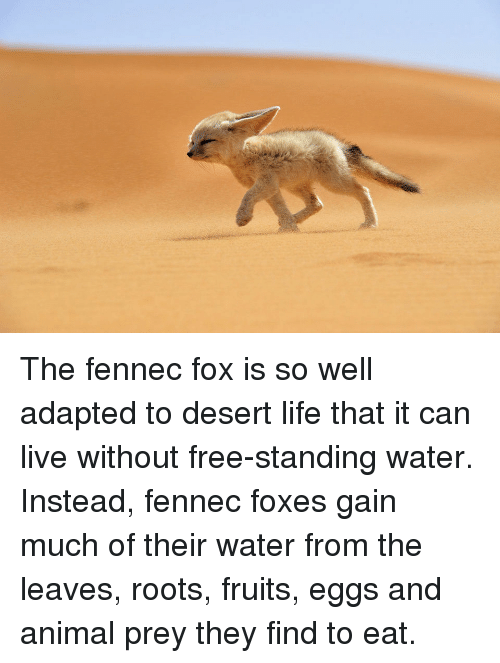 adaptation of the fennec fox to the desert Fennec fox {vulpes zerda} norfolk zoo done 22,433 views.