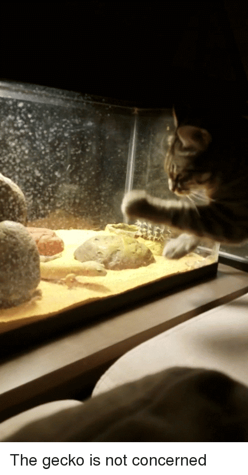 Cat, Gecko, and Concerned: The gecko is not concerned