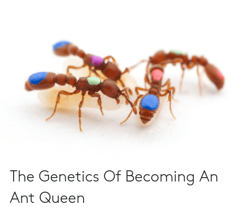 The Genetics of Becoming an Ant Queen   Queen Meme on ME ME