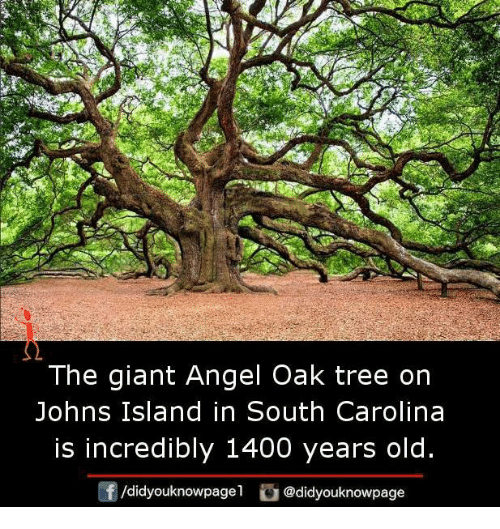 The Giant Angel Oak Tree on Johns Island in South Carolina