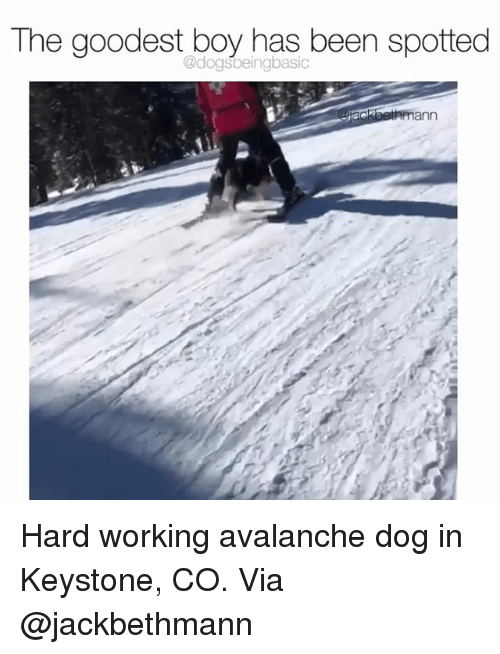 Memes, Been, and Boy: The goodest boy has been spotted  @dogsbeingbasic Hard working avalanche dog in Keystone, CO. Via @jackbethmann