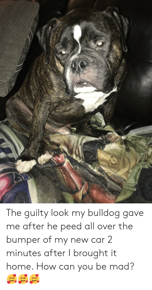 Bulldog, Home, and Mad: The guilty look my bulldog gave me after he peed all over the bumper of my new car 2 minutes after I brought it home. How can you be mad? 🥰🥰🥰
