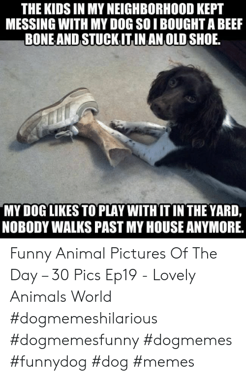 Animals, Beef, and Funny: THE KIDS IN MY NEIGHBORHOOD KEPT  MESSING WITH MY DOG SOI BOUGHT A BEEF  BONEAND STUCKITINAN OLD SHOE  MY DOG LIKES TO PLAY WITHIT IN THE YARD,  NOBODY WALKS PAST MY HOUSE ANYMORE, Funny Animal Pictures Of The Day – 30 Pics Ep19 - Lovely Animals World #dogmemeshilarious #dogmemesfunny #dogmemes #funnydog #dog #memes
