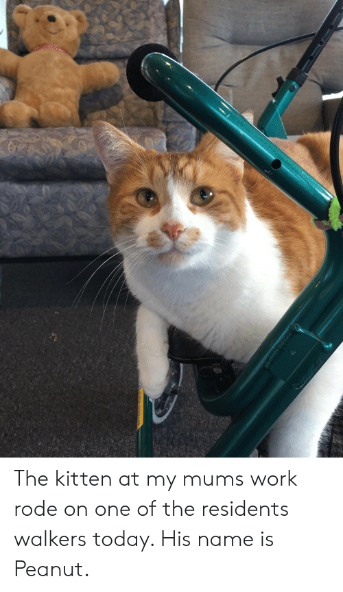 Work, Today, and One: The kitten at my mums work rode on one of the residents walkers today. His name is Peanut.