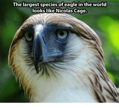 Largest Species Of Eagle